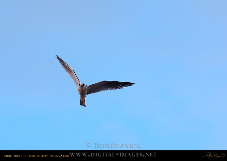 White-Tailed Kite, Evening Flight (head-on), Ballona Creek, Southern California