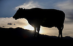 Cows hang out along Highway 88 in Gardnerville, Nev., on Monday, May 25, 2015.<br /> Photo by Cathleen Allison