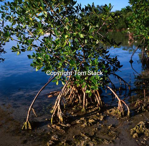 Red Mangrove, Florida Keys National Marine Sanctuary