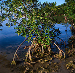 Red Mangrove, Florida Keys National Marine Sanctuary