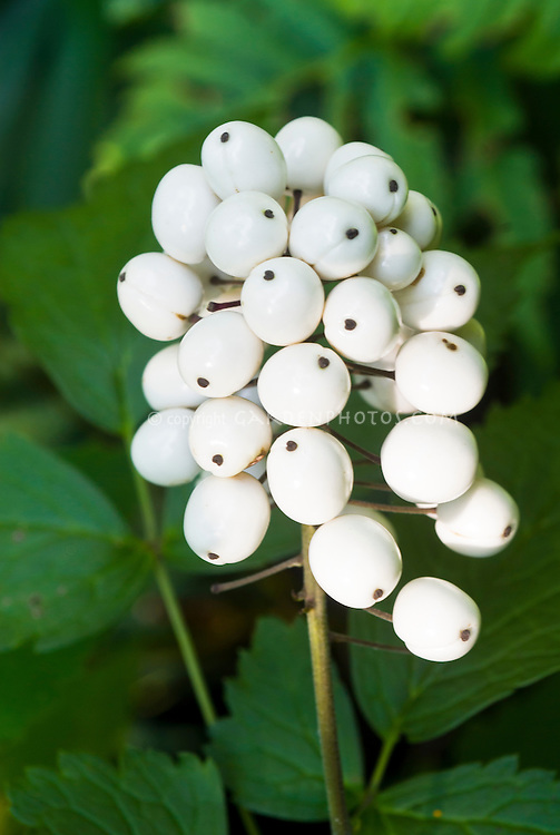 Actaea rubra f. leucocarpa in white berries fruit