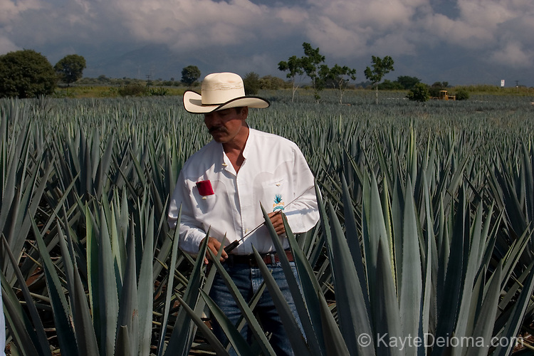 "A jimador (agave harvester) demonstrates how to harvest the piña or ""pineapple"" of a Weber blue agave plant used to make tequila at the jose cuervo plantation near Tequila, Mexico."