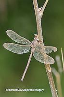 06366-00104  Fawn Darner (Boyeria vinosa) dragonfly male, Marion Co. IL
