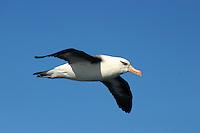Campbell Island Albatross in Flight off Wollongong