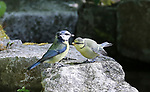 A freshly fledged blue tit was spotted, having left the nest, 'calling' for its lunch as it perched on a rock at the side of a garden pond.<br />  <br /> Roger Clark, 75, spotted the hungry chick chirping for a meal in his back garden in Chandlers Ford, Hants.  The young tit despite having left the nest is still dependent on its parents which were busy bringing it titbits to feed on.<br /> <br /> Please byline: Roger Clark/Solent News<br /> <br /> © Roger Clark/Solent News & Photo Agency<br /> UK +44 (0) 2380 458800