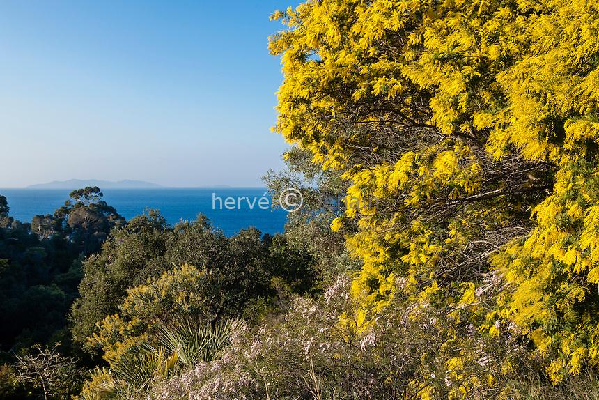 Le domaine du Rayol en f&eacute;vrier : mimosa en fleur (Acacia dealbata X baileyana) au dessus de la ferme et vue sur la mer et l'&icirc;le du Levant.<br /> <br /> (mention obligatoire du nom du jardin &amp; pas d'usage publicitaire sans autorisation pr&eacute;alable)