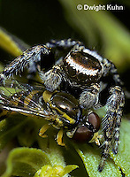 JS01-015z  Jumping Spider - jumping on flower fly prey - Evarcha hoyi