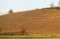 Vineyard. winter pruning. Bonnezeaux. Coteaux du Layon, Anjou, Loire, France