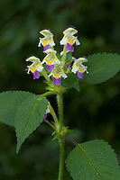 Bunter Hohlzahn, Hohl-Zahn, Galeopsis speciosa, Large-flowered Hemp Nettle, Large-flowered Hempnettle