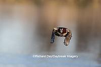 00715-08920 Wood Duck (Aix sponsa) male in flight,  Marion County, IL