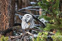 01128-00217 Great Gray Owl (Strix nebulosa)  Yellowstone National Park, WY