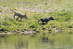 Wolf pups run down the riverbank toward the Yellowstone River in Yellowstone National Park, Wyoming.