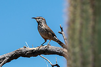 Cactus Wren, Campylorhynchus brunneicapillus, perches on a branch in Saguaro National Park, Arizona