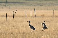 Four Sandhill Cranes, Grus canadensis, feeding in a meadow near Hyatt Lake, Oregon
