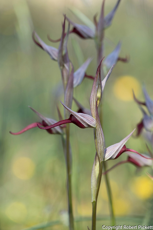Tongue Orchid, Serapias lingua duriaei, Ria Formosa East, Algarve, Portugal