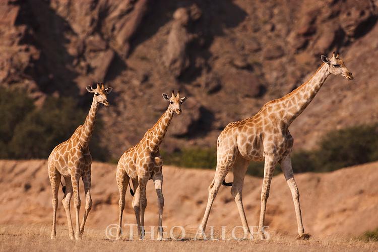 Namibia;  Namib Desert, Skeleton Coast,  giraffes (Giraffa camelopardalais) walking in desert on gravel plain