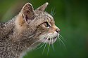 Scottish wild cat {Felis sylvestris grampia} portrait, captive, UK