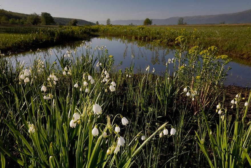 Summer snowflake (Leucojum aestivum) - white - and marsh spurge (Euphorbia palustris).Northern part of Livansko Polje -  karst plateau: arguably the largest karst field in the world. Ramsar site. May 2009. Bosnia-Herzegovina.<br /> Elio della Ferrera / Wild Wonders of Europe