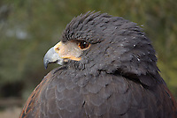 Harris's Hawk seen up close at southern Arizona's, Sonoran Desert Museum.