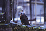 bald eagle in Petersburg