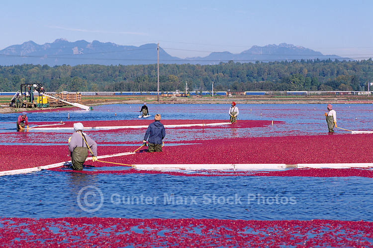 Richmond, BC, British Columbia, Canada - East Indian Agricultural Workers harvesting Cranberries (Vaccinium macrocarpon) with Bog Boom in Flooded Field on Cranberry Farm