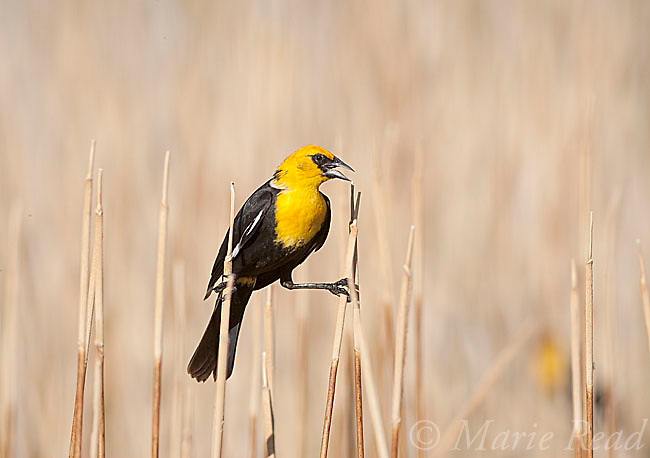 Yellow-headed Blackbird (Xanthocephalus xanthocephalus), male perched by clinging between two cattail stems in marsh, Mono Lake Basin, California, USA
