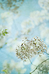 Photograph of cherry blossoms with texture