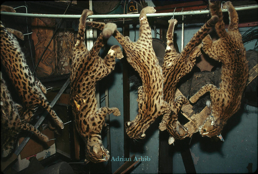 Clouded Leopards skins in a Singapore skin  trader's shop.