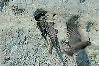 Sand Martin, Hirundo riparia, adults at nesting burrows in River bank, Scrivia River, Italy, June 1997