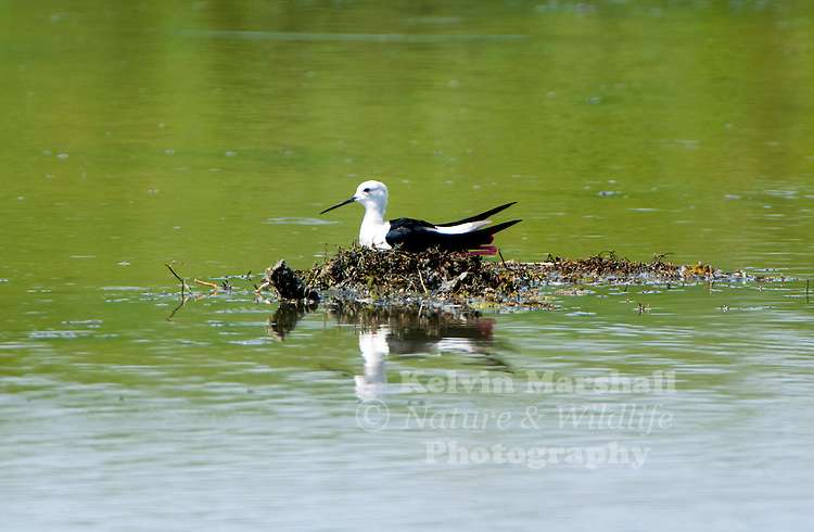 Black-winged stilt, common stilt, or pied stilt (Himantopus himantopus) is a widely distributed very long-legged wader in the avocet and stilt family (Recurvirostridae). Bundala National Park - Sri Lanka.