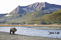 a photo of a coastal grizzly walking along a river in Katai National Park. Grizzly Bear or brown bear alaska Alaska Brown bears also known as Costal Grizzlies or grizzly bears