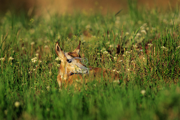 Pronghorn Antelope fawn (Antiloapra americana) laying in grass.  Western U.S., June.