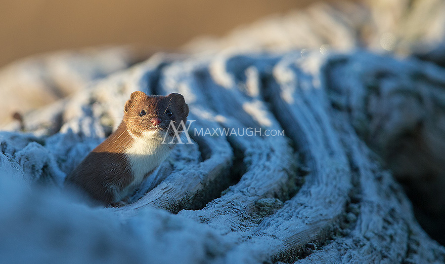 I had a surprise visit from a short-tailed weasel while I was looking for birds at Boundary Bay.