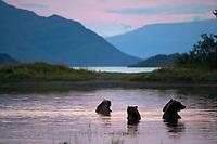 Brown bear sow and three sub adult bears feed on salmon in Brooks River, Katmai National Park, southwest, Alaska.