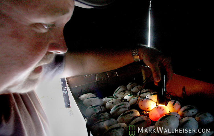 Allen Register shines a light through each of the alligator eggs, known as candling, to confirm if they are fertile or not after the group harvested 562 alligator eggs from Lake Miccosukee July 19, 2007.  The commercial alligator farmers pay the state of Florida five dollars per fertile egg the collect to hatch and raise for the meat and skins.  (Mark Wallheiser/TallahasseeStock.com)