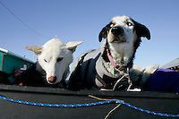 Monday March 12, 2007   ----   Dropped dogs wait in a sled at Kaltag to be taken to the airport and flown in and Iditarod air force plane to Unalakleet where they'll take a commercial flight back to Anchorage.