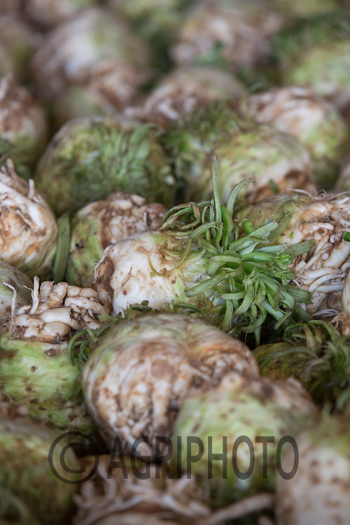 Celeriac stored in one ton boxes <br /> Picture Tim Scrivener 07850 303986<br /> tim@agriphoto.com<br /> ….covering agriculture in the UK….