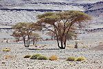 Sahara acacia trees (Acacia raddiana) in the Sahara desert with clear blue sky.