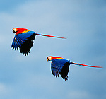 Scarlet macaws in flight, Tambopata River Basin, Peru