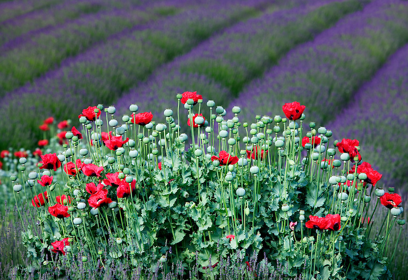 Red poppies and rows of lavender. Jardin du Soleil lavendar farm. Washington