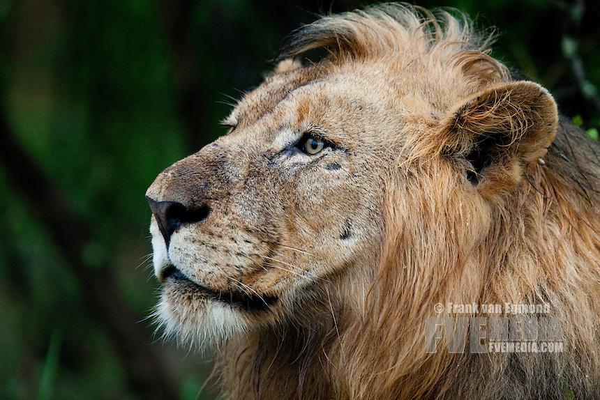 Male Lion portrait (Panthera Leo)..Vulnerable species...Hluhluwe Imfolozi Game Reserve..Kwazulu-Natal, South Africa..November 2010.