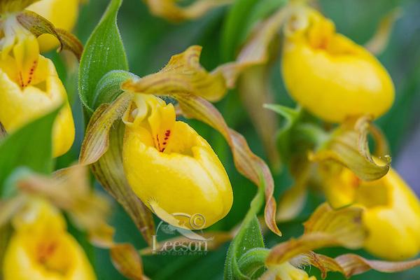 Yellow Lady Slipper or Yellow Lady's slipper orchid (Cypripedium parviflorum).  Northern Rocky Mountains, June.