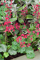 Heucherella Ruby Bells in red flowers