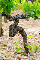 A merlot vine in a funny shape with some shoots from the root stock Chateau Bouscaut Cru Classe Cadaujac Graves Pessac Leognan Bordeaux Gironde Aquitaine France