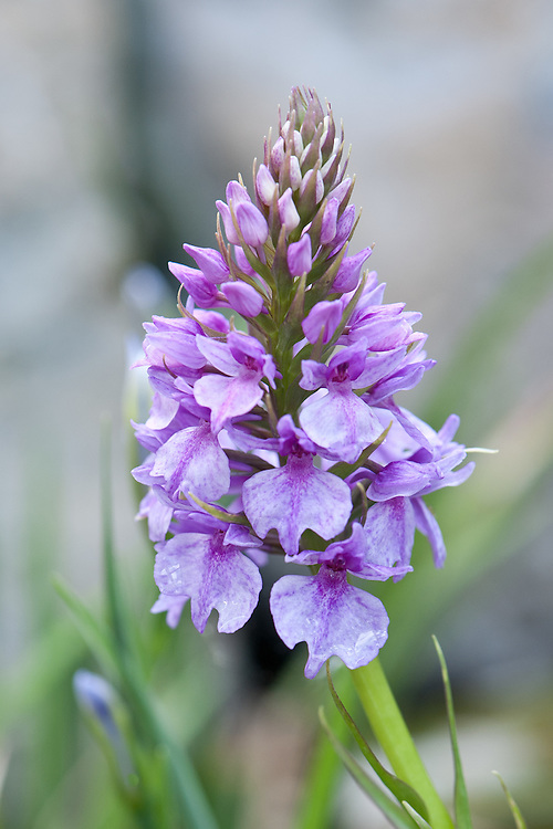 """Madeiran orchid (Dactylorhiza foliosa syn. D. maderensis, Orchis maderensis), glasshouse, early May. """"D. foliosa is from Madeira, where it is found on damp rocky slopes in woodland glades at the higher altitudes."""" [Noel Kingsbury, The Telegraph, http://www.telegraph.co.uk/gardening/howtogrow/3348601/Dactylorhiza-foliosa-How-to-grow.html]"""