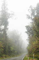 West Coast Road through rainforest with kahikatea trees in mist, South Westland, West Coast, New Zealand