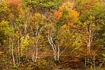 Yellow Birch (Betula alleghaniensis) and Sugar Maple (Acer saccharum) trees in northern hardwood forest in autumn, Williamstown, Berkshires, Massachusetts