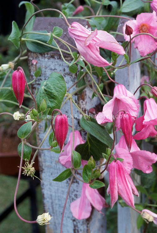 Clematis Alionushka in pink flowers on wooden trellis