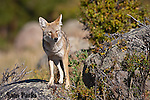 Coyote on rock. Rocky Mountain National Park, Colorado.