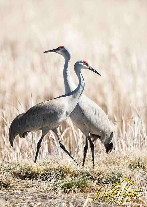 Sandhill Cranes enjoying the spring sun at Market Lake Wildlife Refuge in Roberts Idaho